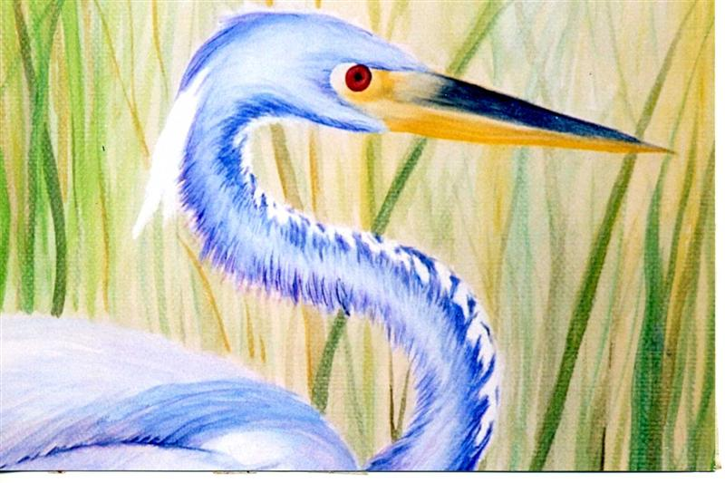 Tri-colored heron detail